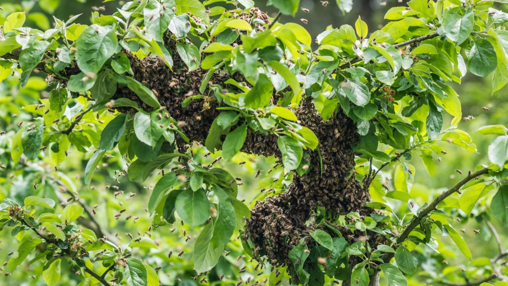 Bienenschwarm1